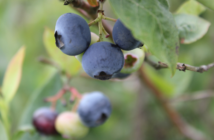 How To Pick Blueberries In Crafting Business