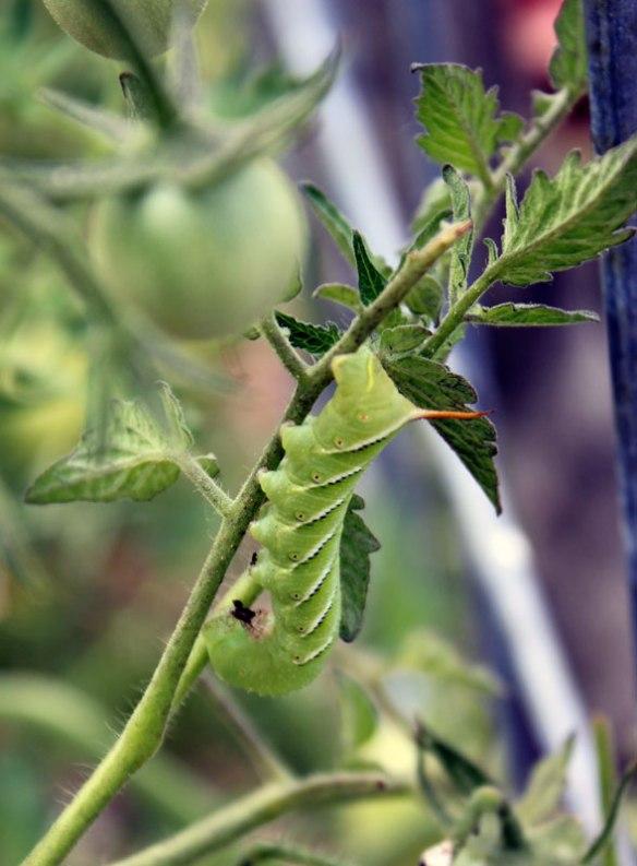 Hornworm1